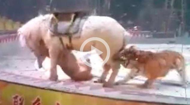 Video: Tigre y león atacan a caballo durante fatal ensayo de circo