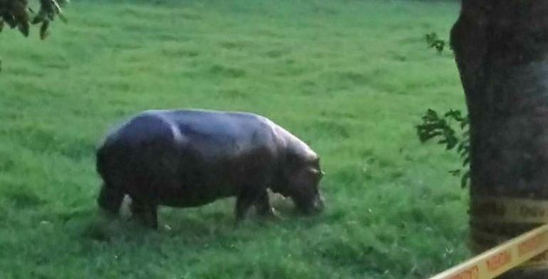 Profepa captura a hipopótamo