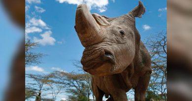Muere Sudán, último rinoceronte blanco del norte del mundo