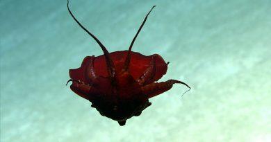 Este peculiar calamar que nada de cabeza fue grabado en las profundidades del Golfo de México