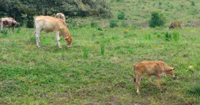 Afecta Manera Severa Sequía Ganaderos