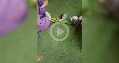 Conejillos Indias