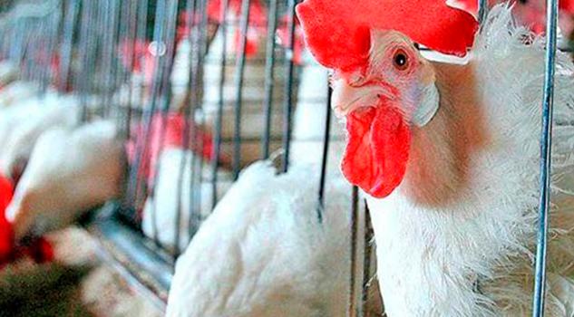 Detectan Focos Gripe Aviar Guanajuato Querétaro