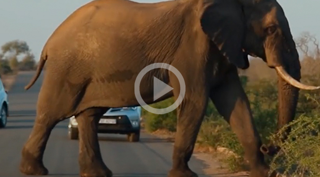 Elefante Para Tráfico Sudáfrica