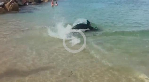 Toda una sorpresa para quien estaba en Narooma (Australia) ese día. Mientras la gente se bañaba, una foca apareció persiguiendo un pez.