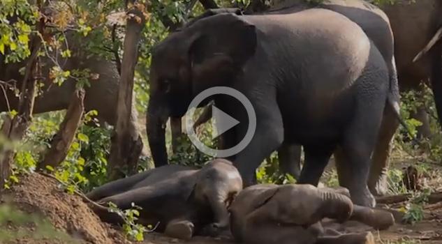 Pequeños Elefantes Agarran Trompadas