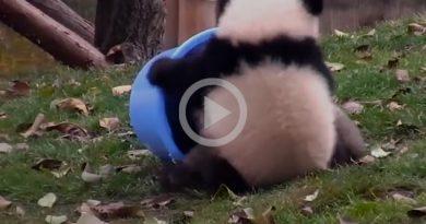 Pequeños Pandas Juguetones
