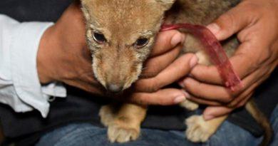 Rescatan Cría Coyote Misantla Vendían Facebook