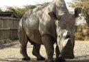 A través de inseminación artificial, expertos buscan repoblar al rinoceronte blanco