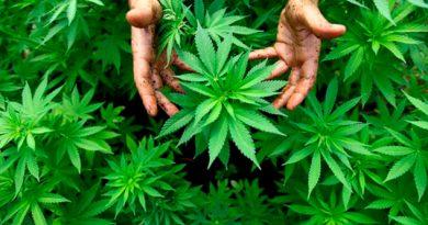 Canadá Segundo País Mundo Legalizar Marihuana