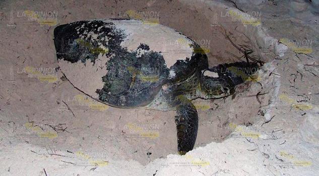 Sin Depredación Huevos Tortugas