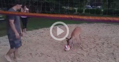 Ciervo Aprende Jugar Voleibol