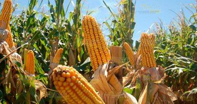 Maiceros Veracruz Preparan Para Sequía