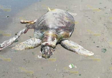 En la playa aparece tortuga muerta