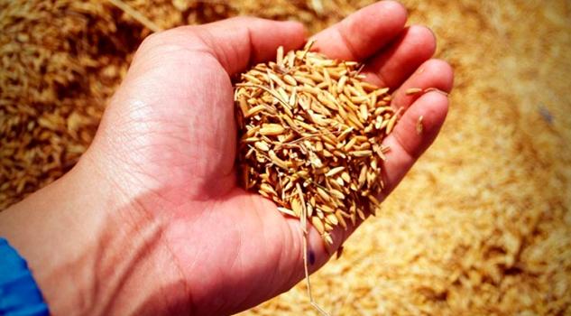 Arroz Trigo Pierden Nutrientes Por Efecto Del Cambio Climático