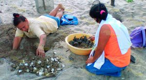 Llegan Menos Tortugas Depredación Caza Aumentan