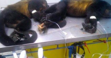 Matan Acayucan Hembras Mono Aullador Para Quitarles Crías