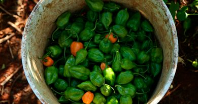 Capsaicina Molécula Presente Chiles Puede Combatir Obesidad