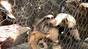 Piden Preservar Los Animales Silvestres