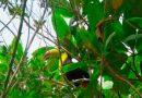 Libera Profepa cinco ejemplares de Tucán Real en la reserva Los Tuxtlas