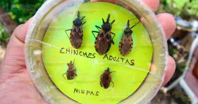 Alerta Chinches Besuconas Provocan Enfermedad Chagas