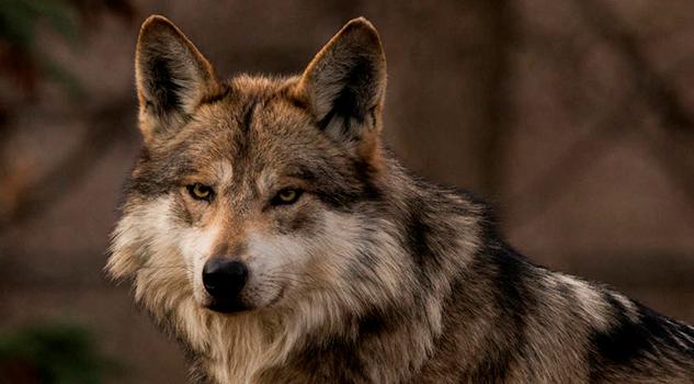El Lobo entre los Mexica