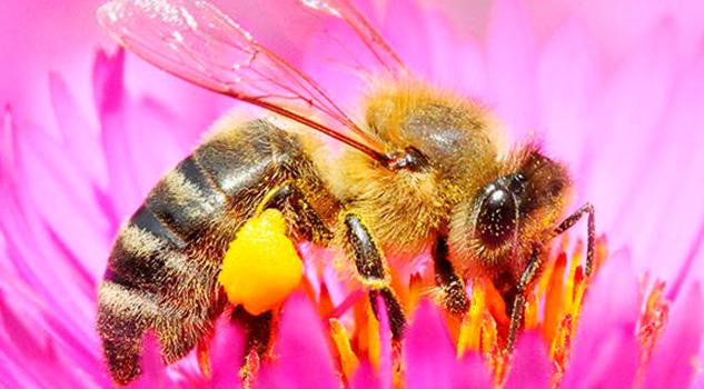 En grave riesgo las poblaciones de abejas y su polinización