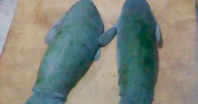 Rescatan a 2 crías de manatí en Tabasco