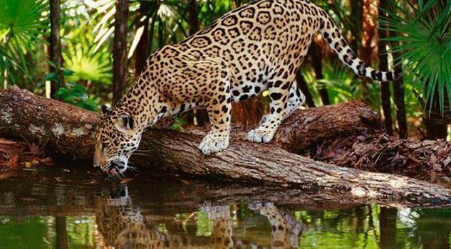 Científicos se suman para conservar al jaguar en Tren Maya