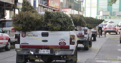 ¿A dónde irán los pinos reciclados?