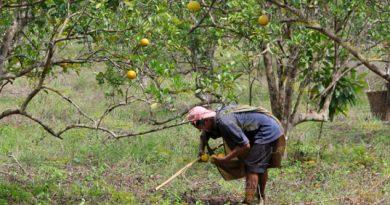 Productores de cítricos en Tihuatlán, endeudados con FIRA