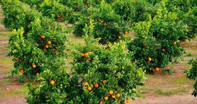 Productores de cítricos de Tuxpan temen propagación de mosca de la fruta