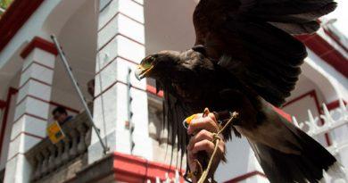 Águila real, en peligro