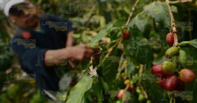 Dejan solos a los cafeticultores de la Sierra Norte de Puebla