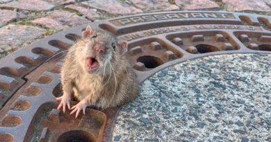 Rescatan a rata atorada en tapa de una alcantarilla en Alemania