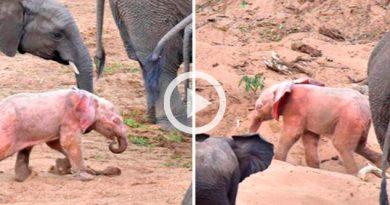 Graban a un elefante color rosa en Sudáfrica