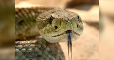 Brutal pelea entre dos serpientes venenosas