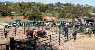 Abigeato imparable en Papantla, va de mal en peor para ganaderos