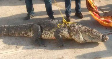 Capturan a enorme cocodrilo en calles de Tamaulipas