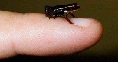 Encuentran fósil de una rana del tamaño de una uña