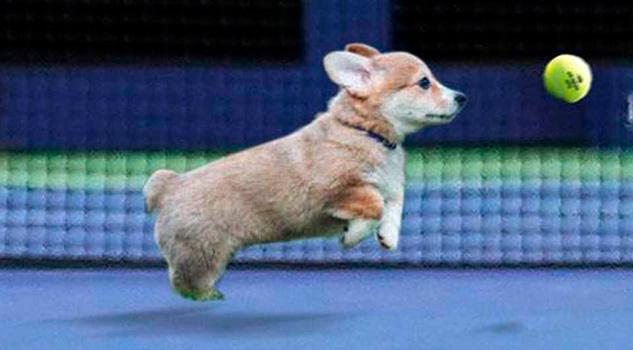 El US Open utilizará cachorros de perro como recogepelotas