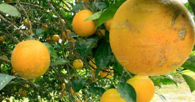Fruta de calidad en la región de Álamo, exigencia mundial