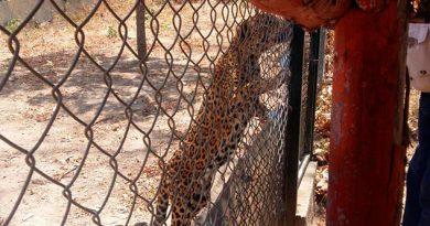 Jaguar escapa de jaula y ataca a albañil en Chihuahua