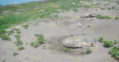 Mayor riesgo para tortuga marina por temporada vacacional en Tuxpan, advierten