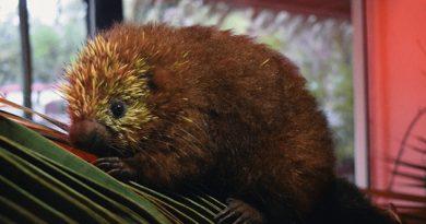 Nace un puercoespín por primera vez en zoológico mexicano