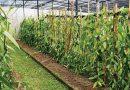 Prevén riesgo de vainillales en Papantla por sequía