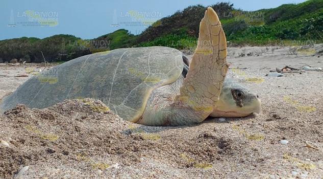Primer avistamiento de arribo de tortuga marina en Chaparrales, Cazones