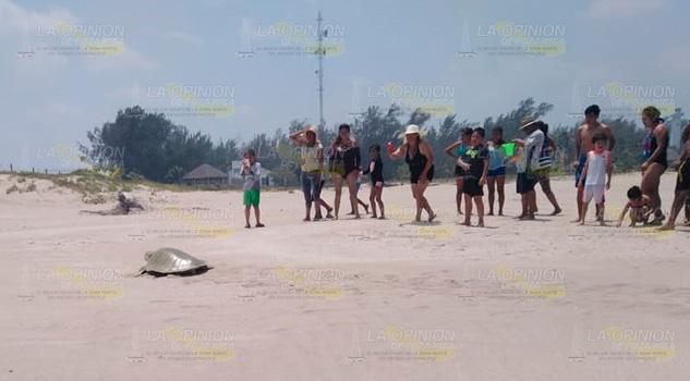 Tortugas llegan a anidar en Barra Norte de Tuxpan