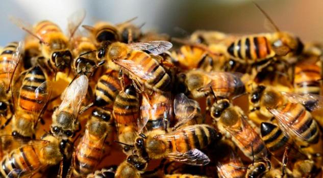 Alerta PC presencia de abejas africanizadas en Veracruz