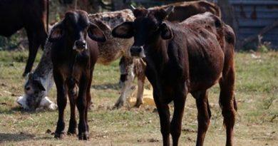 Altas temperaturas comienzan a afectar ganado en Veracruz